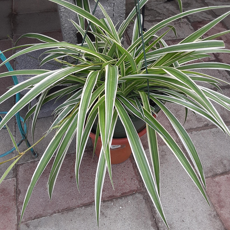 "10"" Spider Plant  $22.99"