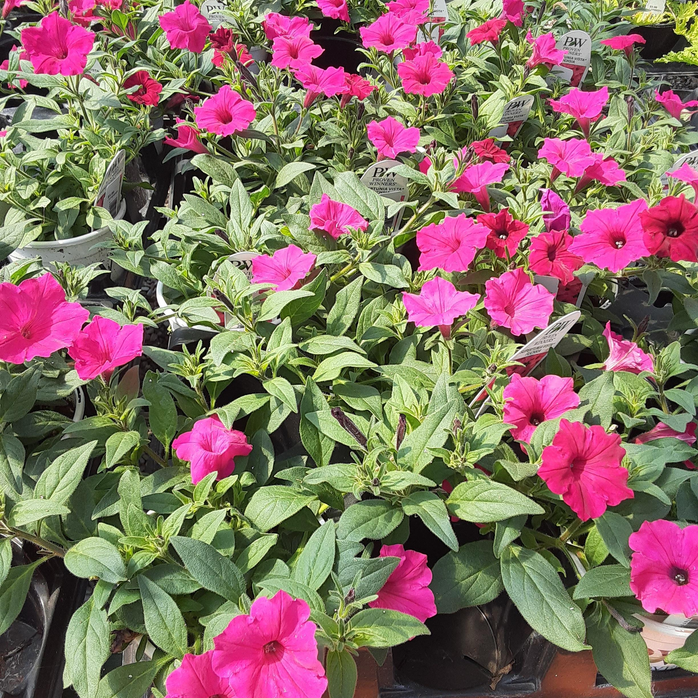 "6"" Supertunia Vista Fuschia $5.99"