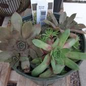 Hens And Chicks Assorted $10.99