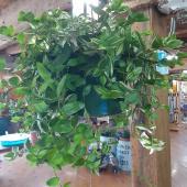"10"" Green Wandering Jew House Plant $21.99"