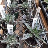 """4"""" Succulents $7.39 (B)"""